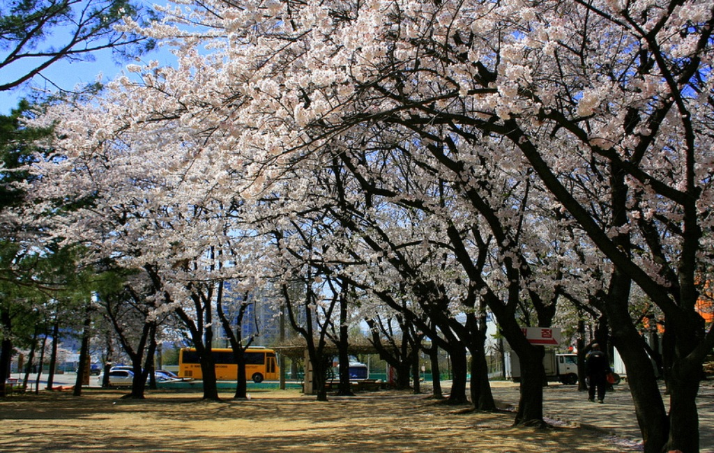 isa_study_abroad_seoul_trees_in_bloom