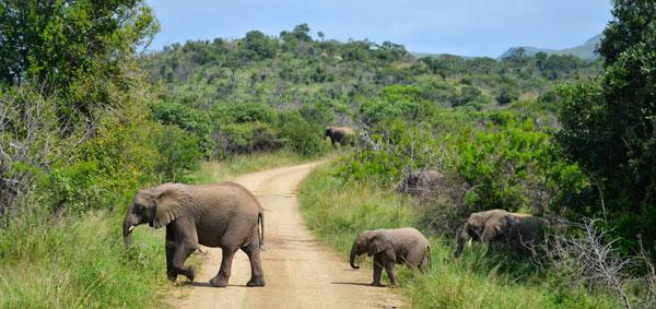 south_africa.hluhluwe-umfolozi_park.spring2014.artistic_eye.-elephant_x-ing-.valerie_gecowets