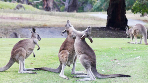 Australian kangaroos in Newcastle